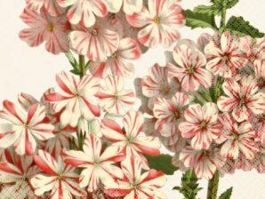 lautasliinat Geranium